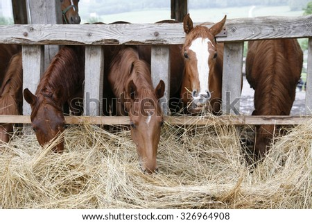 Thoroughbred horses in the paddock eating dry grass in row. Purebred horses eating hay - stock photo