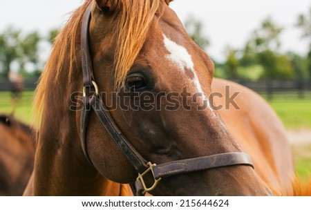 Thoroughbred Mare - stock photo
