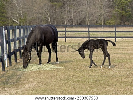 Thoroughbred mare and colt - stock photo