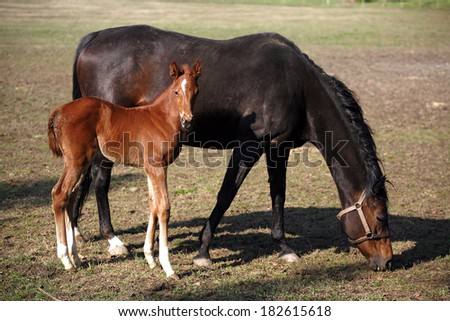 Thoroughbred mare and foal in pasture following mother - stock photo