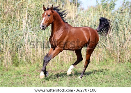 Thoroughbred young stallion canter on summer meadow - stock photo