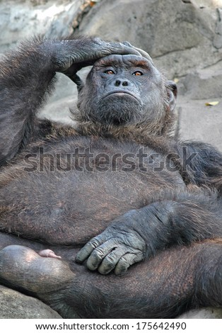 Thought, Wisdom concept: orangutan with a pensive look. - stock photo