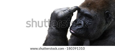 Thoughtful gorilla isolated on a white background with room for text - stock photo
