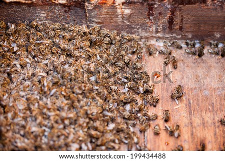 Thousands dead honey bees - poisoned by pesticides and GMOs - stock photo