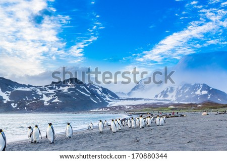 Thousands of King Penguins march for cover of the oncoming katabatic winds - stock photo