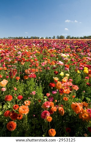 Thousands of Ranunculus cover the flower fields in Carlsbad, California.