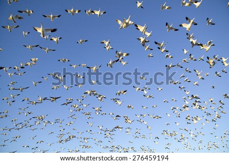 Thousands of snow geese fly against blue sky over the Bosque del Apache National Wildlife Refuge, near San Antonio and Socorro, New Mexico  - stock photo