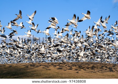 Thousands of Snow Geese fly from a hillside at Middle Creek Wildlife Management Area in Lancaster County, Pennsylvania,USA. - stock photo