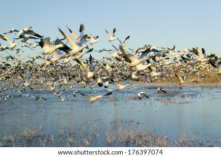 Thousands of snow geese take off at sunrise at the Bosque del Apache National Wildlife Refuge, near San Antonio and Socorro, New Mexico  - stock photo