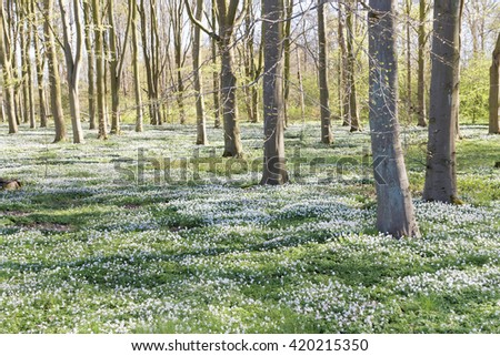 Thousands of wood anemone in the beech forest during spring a sunny day