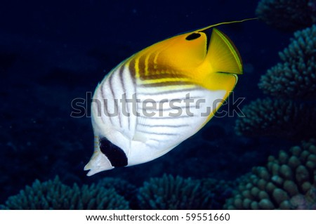 Threadfin butterflyfish - stock photo