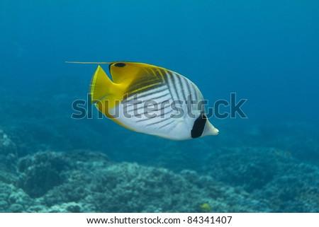 Threadfin Butterflyfish - stock photo
