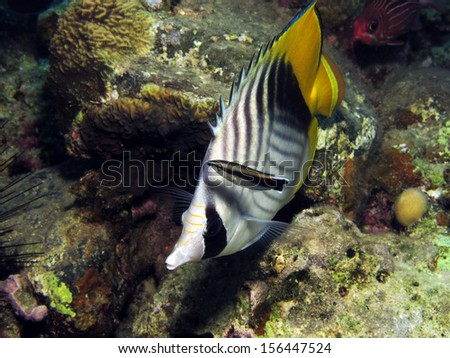 Threadfin butterflyfish and cleaner wrasse - stock photo