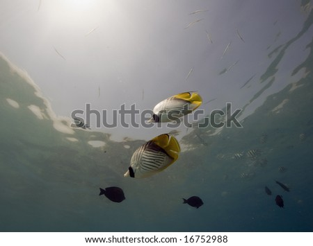 threadfin butterflyfish (chaetodon auriga) - stock photo