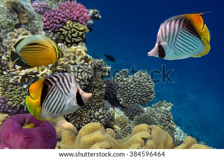 Threadfin butterflyfish (Chaetodon auriga) and coral reef, Red Sea, Egypt