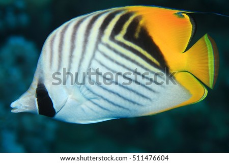 Threadfin butterflyfish (Chaetodon auriga) in the coral reef of the red sea