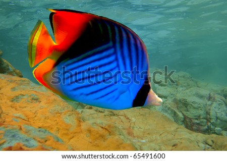 Threadfin butterflyfish (Chaetodon auriga), Red Sea, Egypt - stock photo