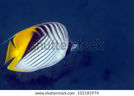 Threadfin butterflyfish in the Red Sea. - stock photo