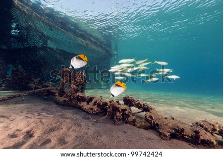 Threadfin butterflyfish in the Red Sea - stock photo