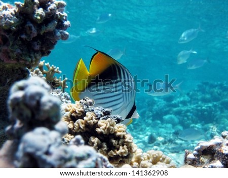 Threadfin Butterflyfish on coral - stock photo