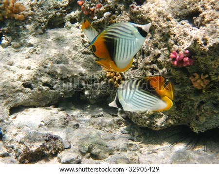 Threadfin butterflyfishes