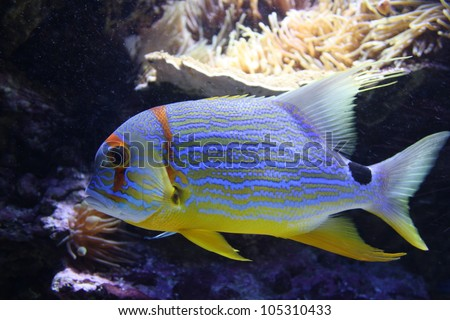 Threadfin snapper fish in a aquarium (sailfin snapper, blue-lined sea bream, Symphorichthys spilurus)