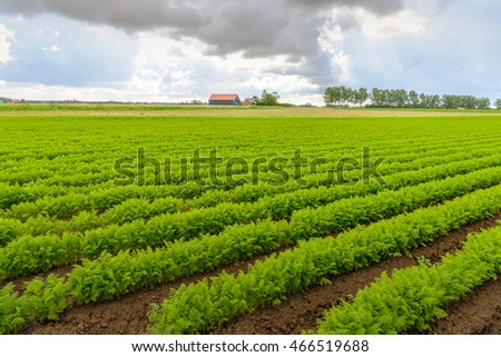 Threatening clouds above a Dutch field with carrot cultivation in long green converging rows. The soil is still wet after the rain.