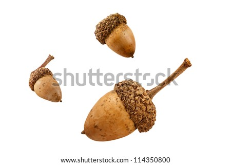 Three acorns from an oak tree isolated on a white background