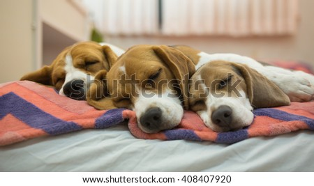 Three Adorable Beagles are sleeping together on the comfy bed in the bedroom. (Soft Focus) - stock photo
