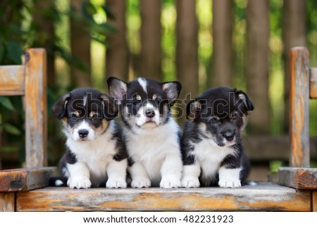 three adorable corgi puppies outdoors in summer