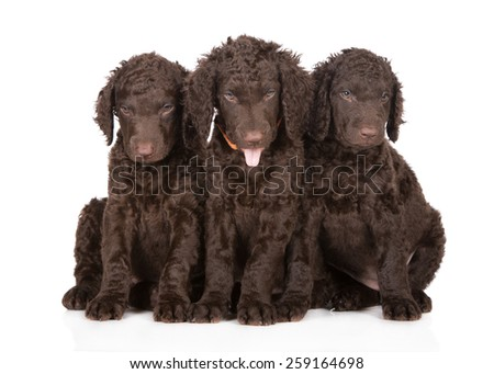 three adorable curly coated retriever puppies - stock photo