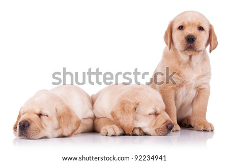 three adorable little labrador retriever puppies, two sleeping and one looking at the camera - stock photo