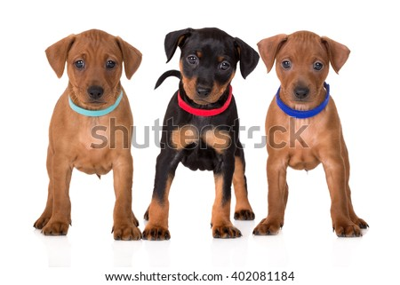 three adorable pinscher puppies - stock photo