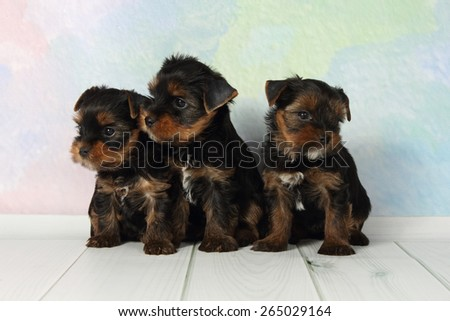Three adorable puppy Yorkshire Terrier