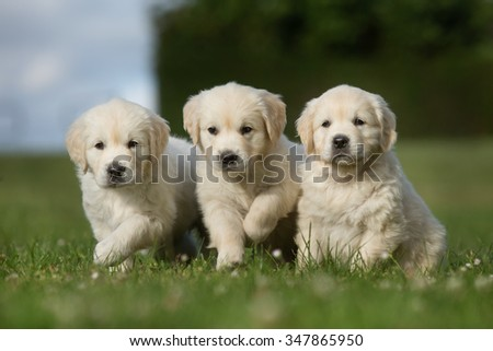 Three adorable purebred golden retriever puppy outdoors in the nature on grass meadow on a sunny summer day. - stock photo