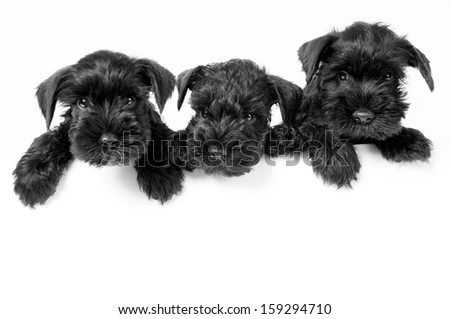 Three adorable schnauzer puppies  on white background with room for your text  - stock photo