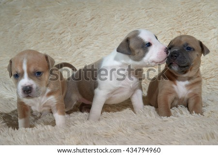 three adorable staffordshire terrier puppies playing