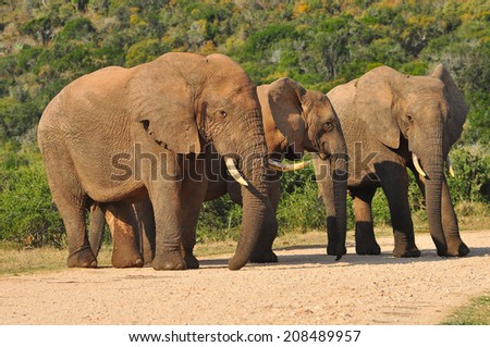 Three African Elephants