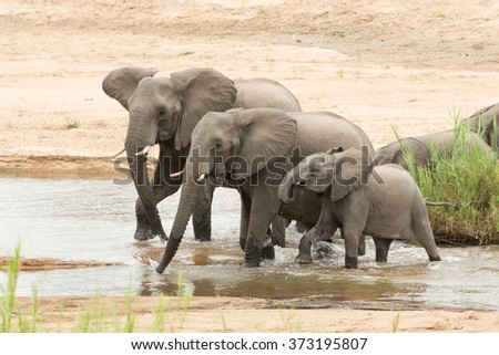 Three African Elephants drinking from river in Kruger Park South Africa