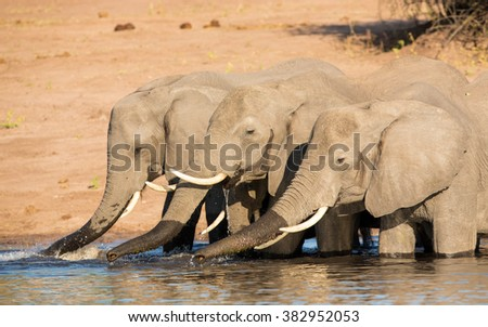 Three African Elephants drinking water in the Chobe River in Botswana