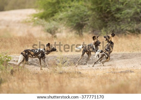 Three African Wild Dog playing in the bush in Kruger Park South Africa - stock photo