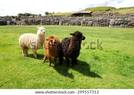 Three Alpacas in different color (white, brown and black)  standing in the Incan fortress of Saqsaywaman near Cusco in a cloudy sky