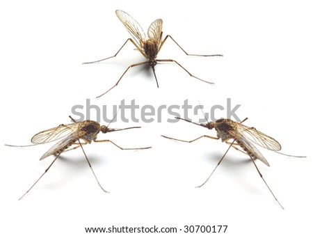 Three Anopheles mosquitos - dangerous vehicle of infection - isolated on white background