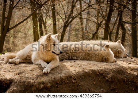 three arctic wolves are resting, lying on the ground, one observes the surroundings, the two wolves sleeping - stock photo