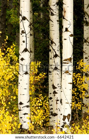 Three Aspens in the Autumn Woods, Glacier National Park, Montana - stock photo