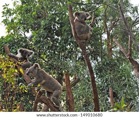 Three Australian koala bears on eucalyptus or gum tree. Sydney, NSW, Australia. exotic iconic Aussie mammal animal  - stock photo