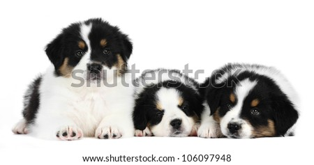 Three australian shepherd puppies in studio in white background