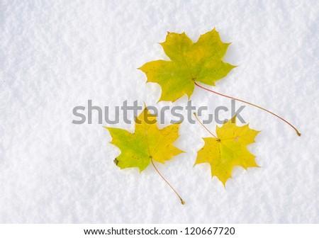 three autumn leaves of maple on snow - stock photo
