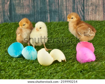 Three baby chicks standing next to ester eggs in the grass with a wooden fence behind them. - stock photo