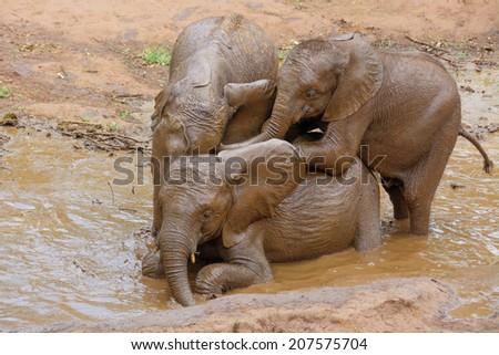 Three Baby Elephants Enjoying a Mud Bath - stock photo
